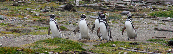 Patagonia-penguins-1-580