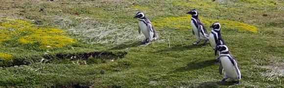 Patagonia-penguins2-580