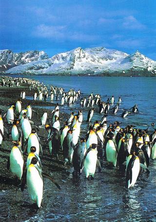 Magellanic Penguins of Patagonia.
