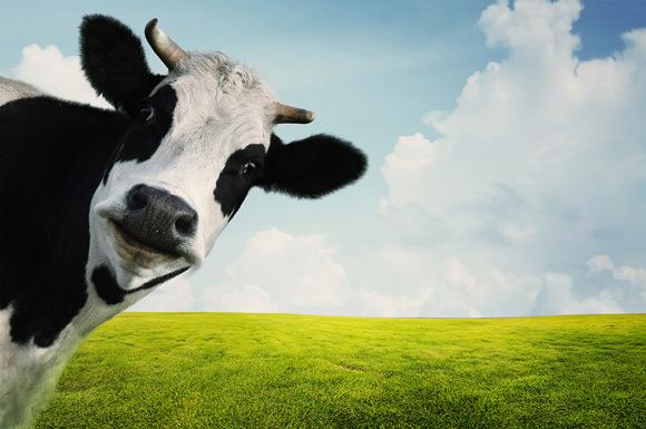cow-580