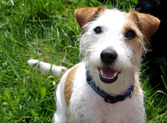 Jack-Russell-Terrier-580
