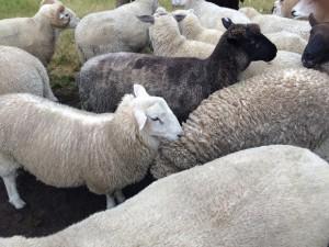 sheep-580