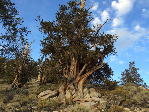 This bristlecone pine could be as much as 4500 years old.