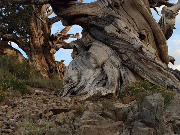 580-Bristlecone-pine