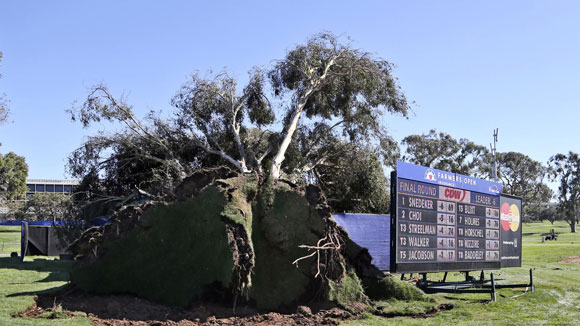 A couple of eucalyptus trees that fell during a PGA tournament at Torrey Pines Golf course. The biggest one shown here next to the leaderboard.